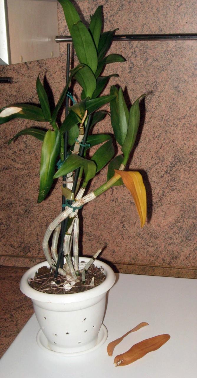 Орхидея после теплового удара сбрасывает листья.