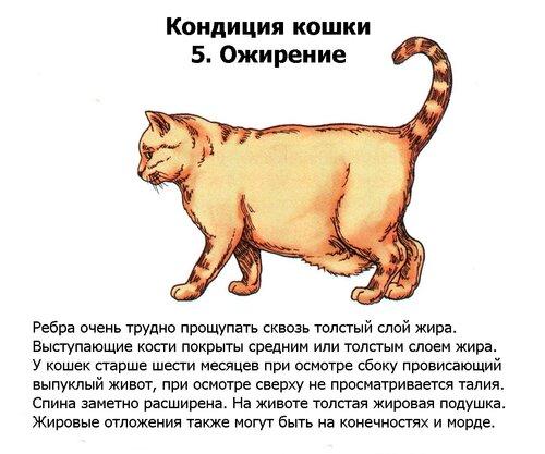 Кошка Лишний Вес Как Похудеть Кошке Стерилизованной. Основные способы — как помочь похудеть кошке