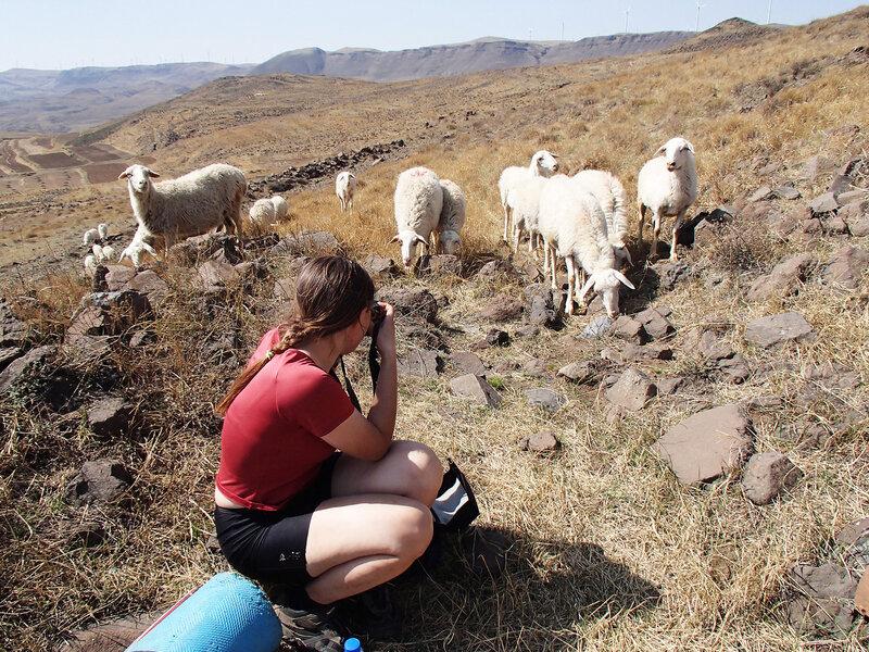 овцы во внутренней монголии, китай