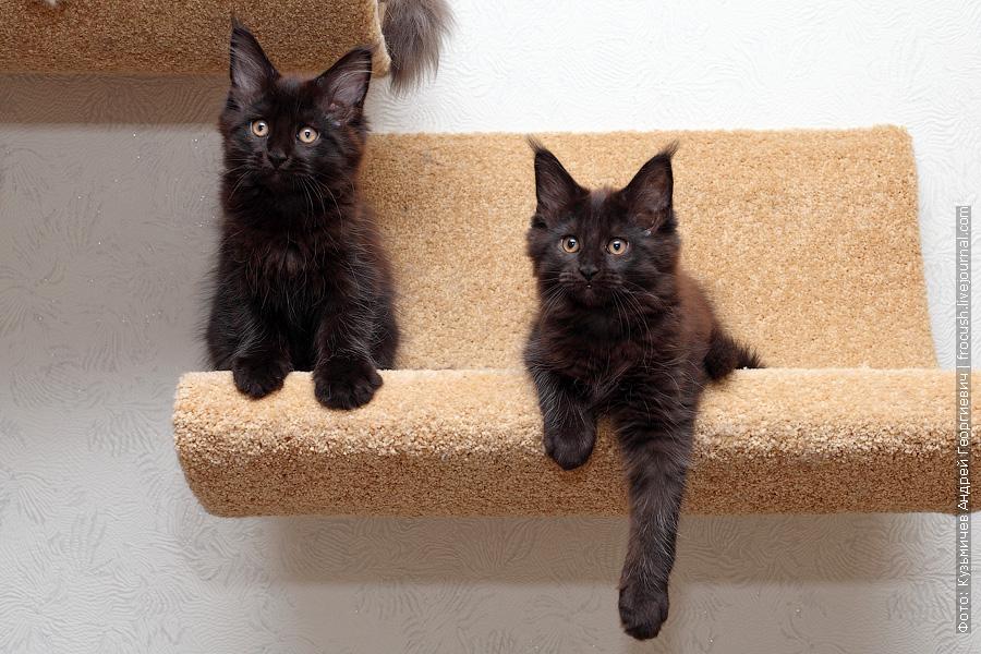 черные котята Мейн-кун продажа из питомника в Москве