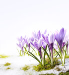 Art crocus flowers in the snow Thaw