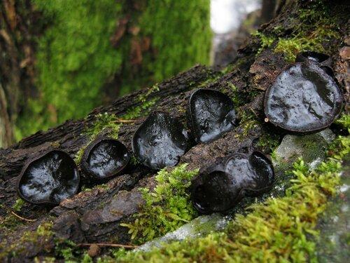 Булгария пачкающая (Bulgaria inquinans) Автор: Станислав Кривошеев