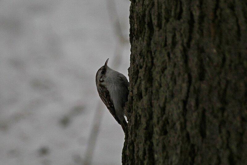 Обыкновенная пищуха (Certhia familiaris) на стволе дерева