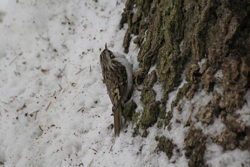 Обыкновенная пищуха (Certhia familiaris) в снегу у подножия дерева