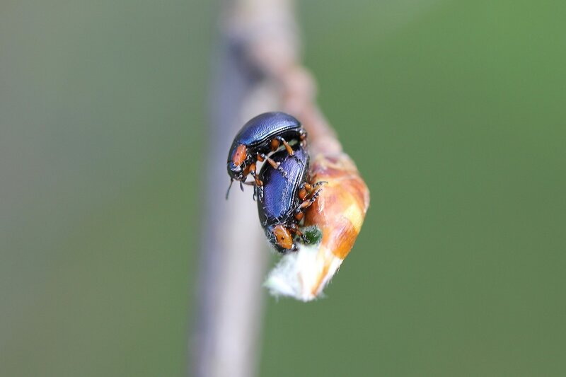 Копуляция жуков на древесной почке