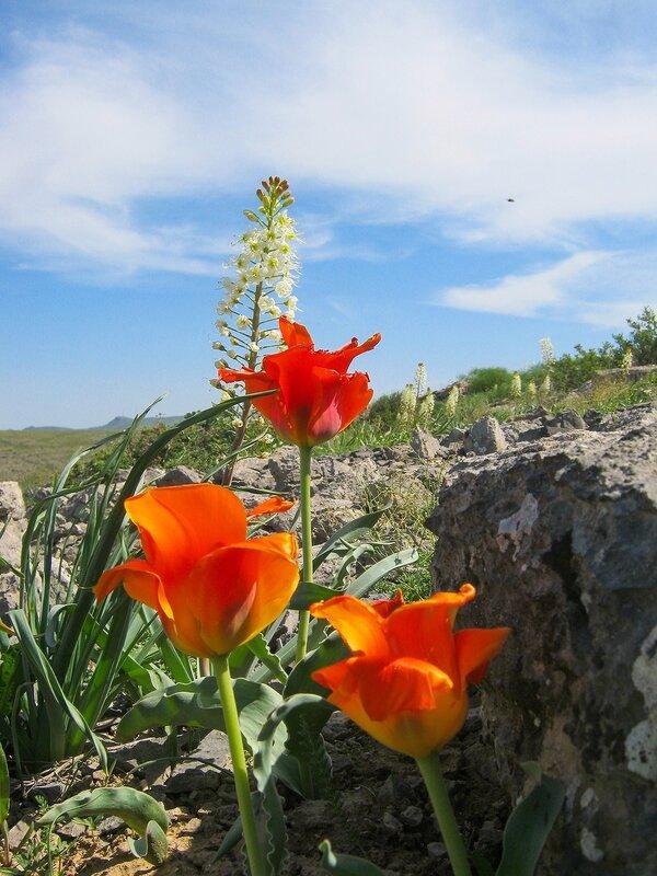 Природа Талдыбулака. Тюльпан Альберта + Эремурус млечноцветковый