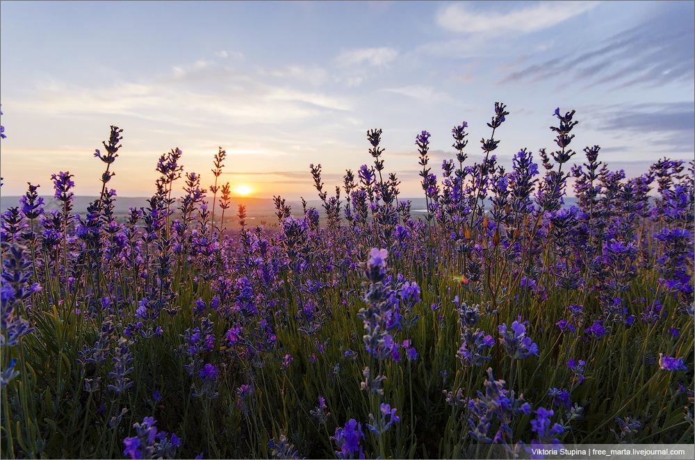 закат в лавандовом поле