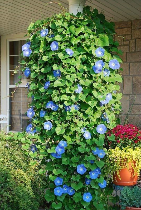 Цветник синий - цветник надежды-ипомея