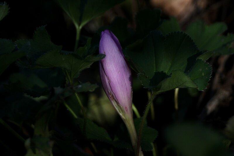 Цветок безвременницы IMG_9503