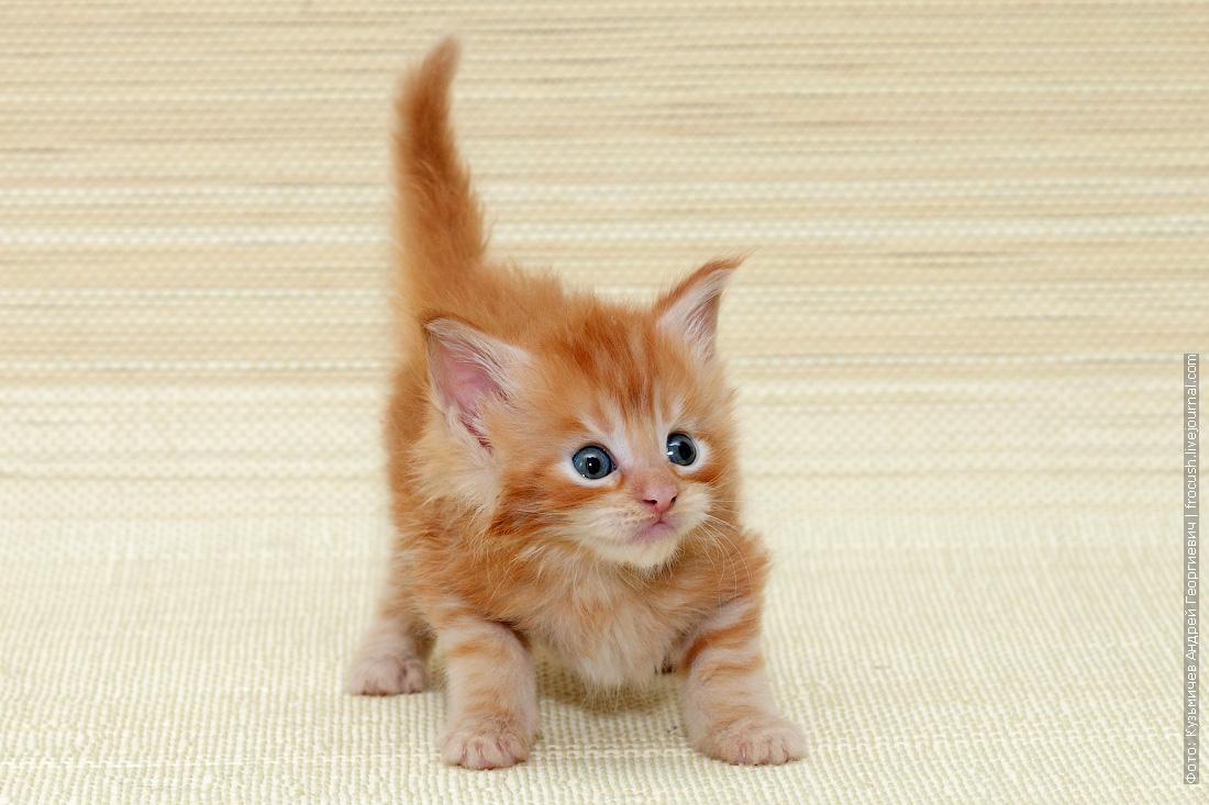 цена котенок Мейн-кун
