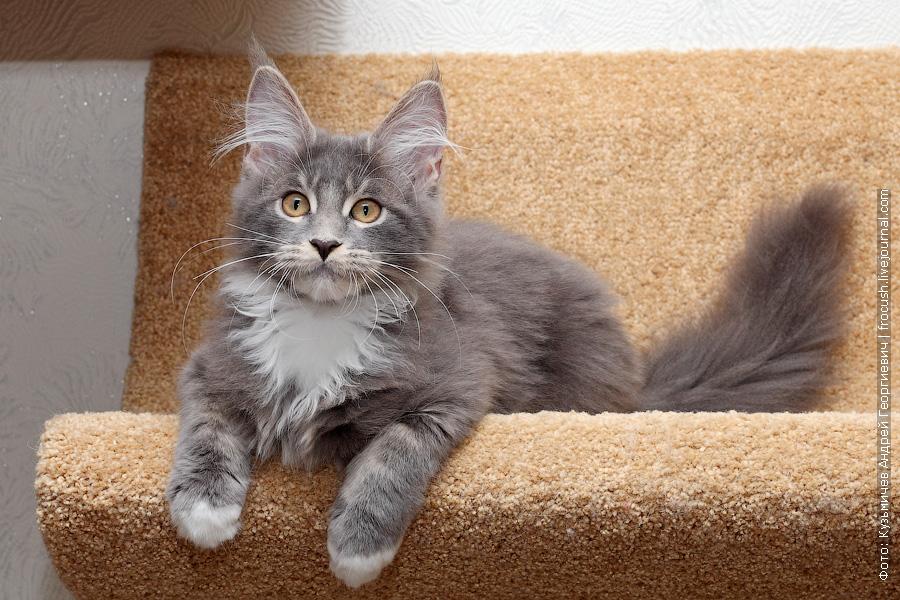 котенок мейн кун продажа из питомника в москве