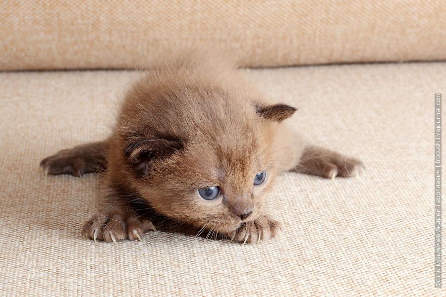 Бомбейский котенок в Москве из питомника