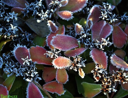 Очиток (живучник) сихотинский / Sedum (aizopsis) sichotense осенью
