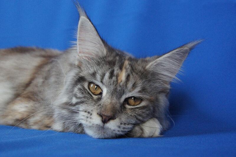 Кошка мейн-кун Зефирка лучший юниор породы мейнкун г. Владивосток