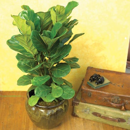 Фикус лировидный - Ficus – lyrata
