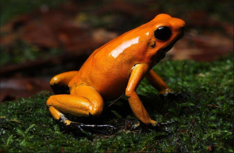 Лягушка - Ужасный листолаз