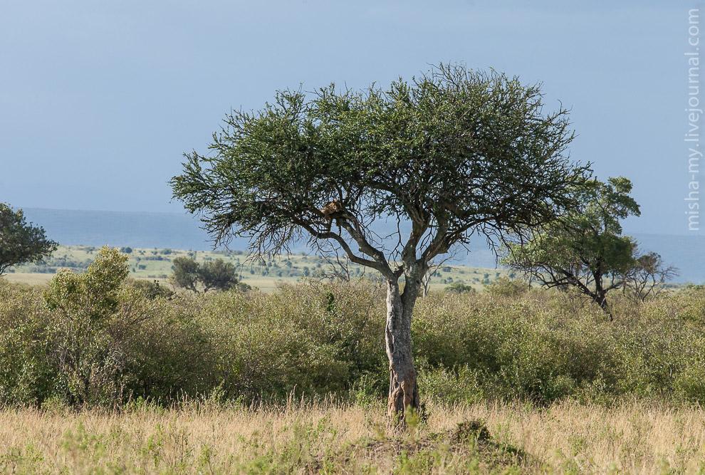 35. Леопард сидел на дереве, большую часть времени спал, но иногда просыпался и перекладывался поудо
