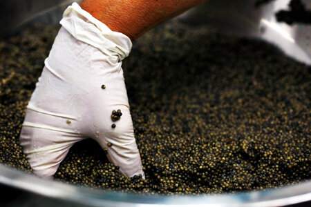 KIBBUTZ DAN, ISRAEL - APRIL 22: An Israeli worker stirs salt into the more than two kilograms of roe from a single sturgeon as she prepares caviar for packing at a processing plant on April 22, 2009 in Kibbutz Dan, Israel. Far from the Caspian Sea, where