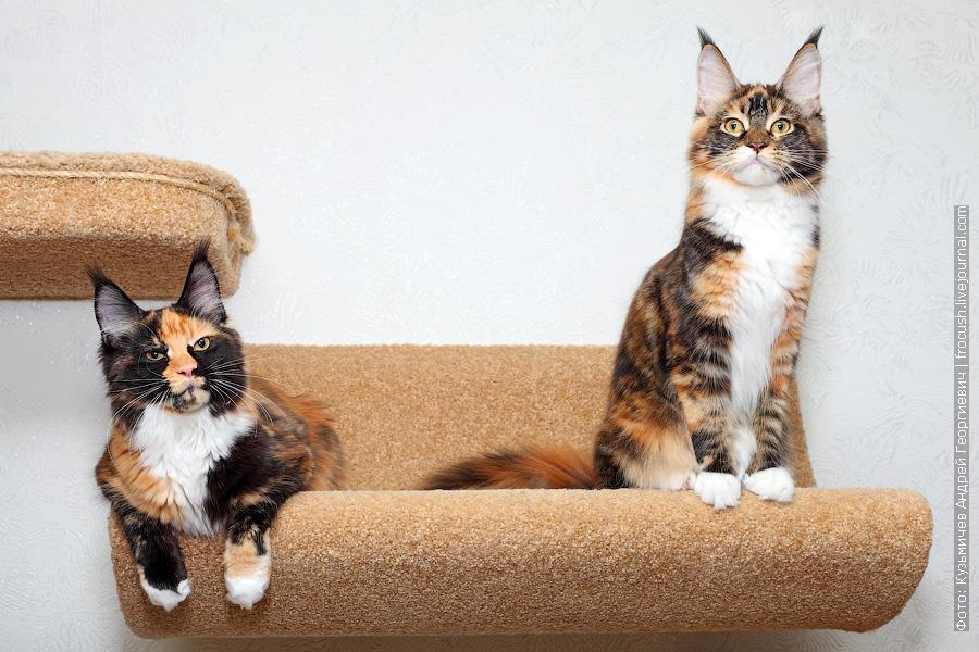 котята Мейн-кун черепашки