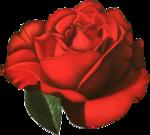 rosenrot044.png