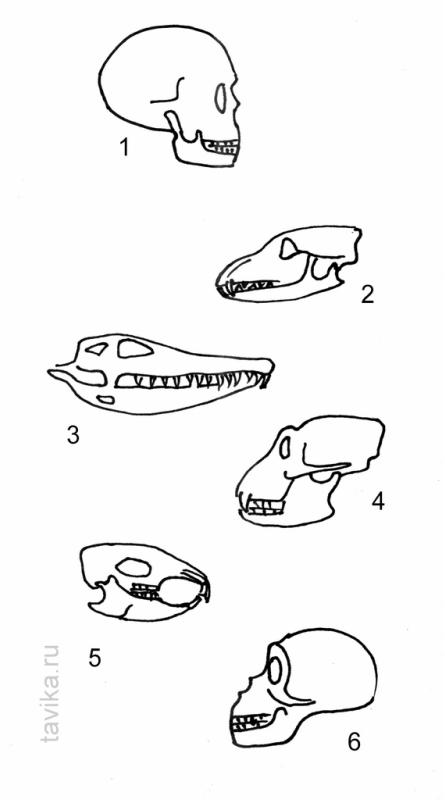 черепа животных и человека
