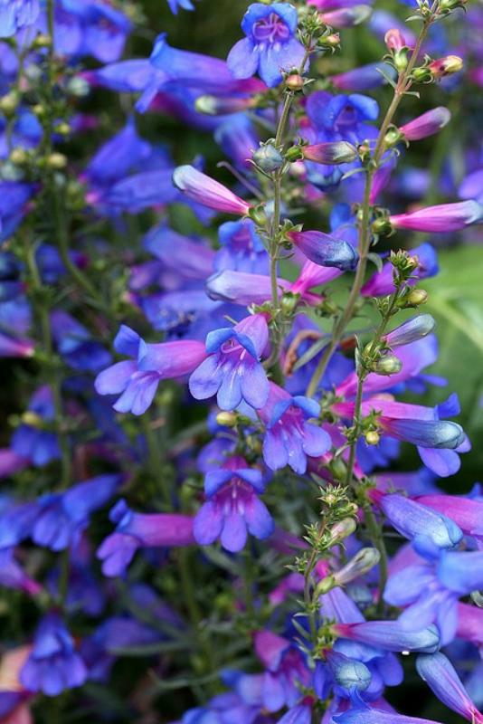 Цветник синий - цветник надежды-пенстемон