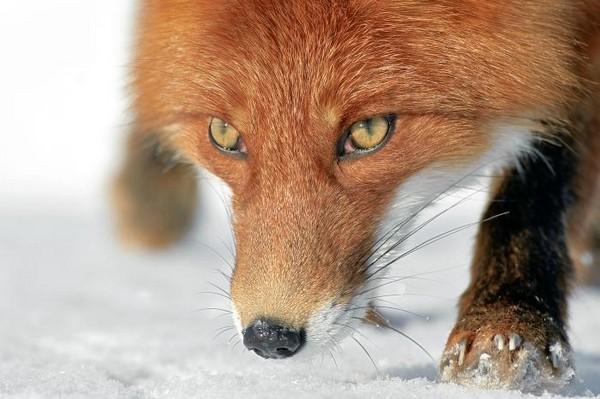 Фотографии животных отлучших фотографов анималистов России 0 145e35 7569c8f5 orig