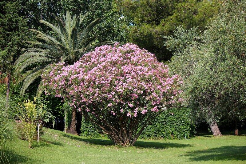 Цветет олеандр