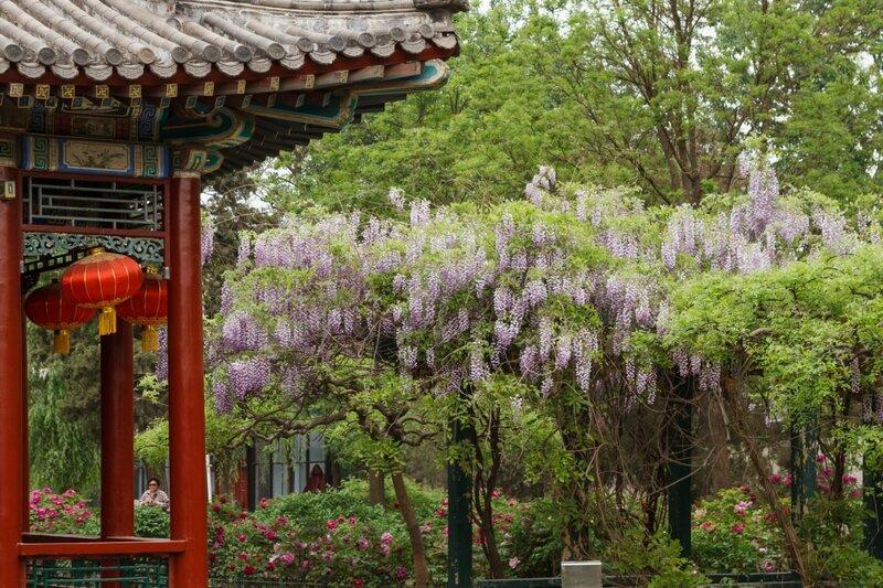 Глициния, парк Дагуаньюань, Пекин