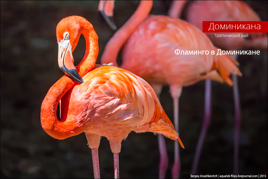 Dominikan flamingo / Доминиканские фламинго