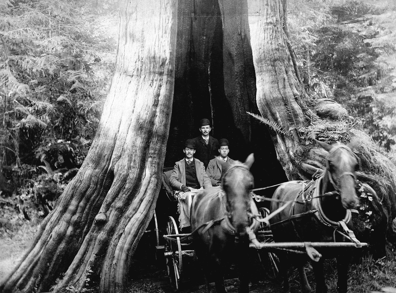 Кедровое дерево 60 футов в окружности, Стэнли-Парк, Ванкувер