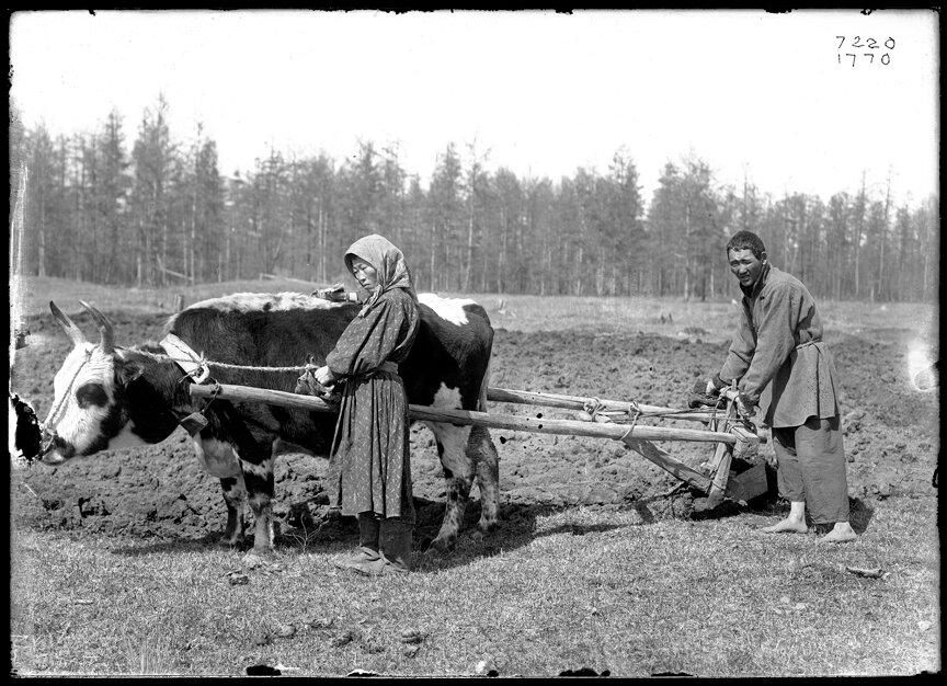 Якуты занимаются вспашкой поля, 1902