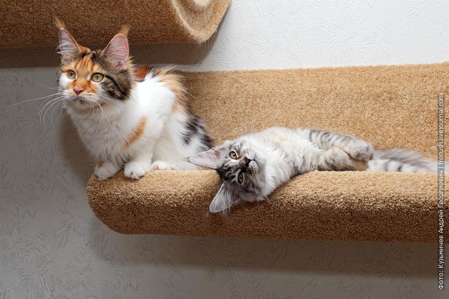 кошки мейн кун питомник Москва