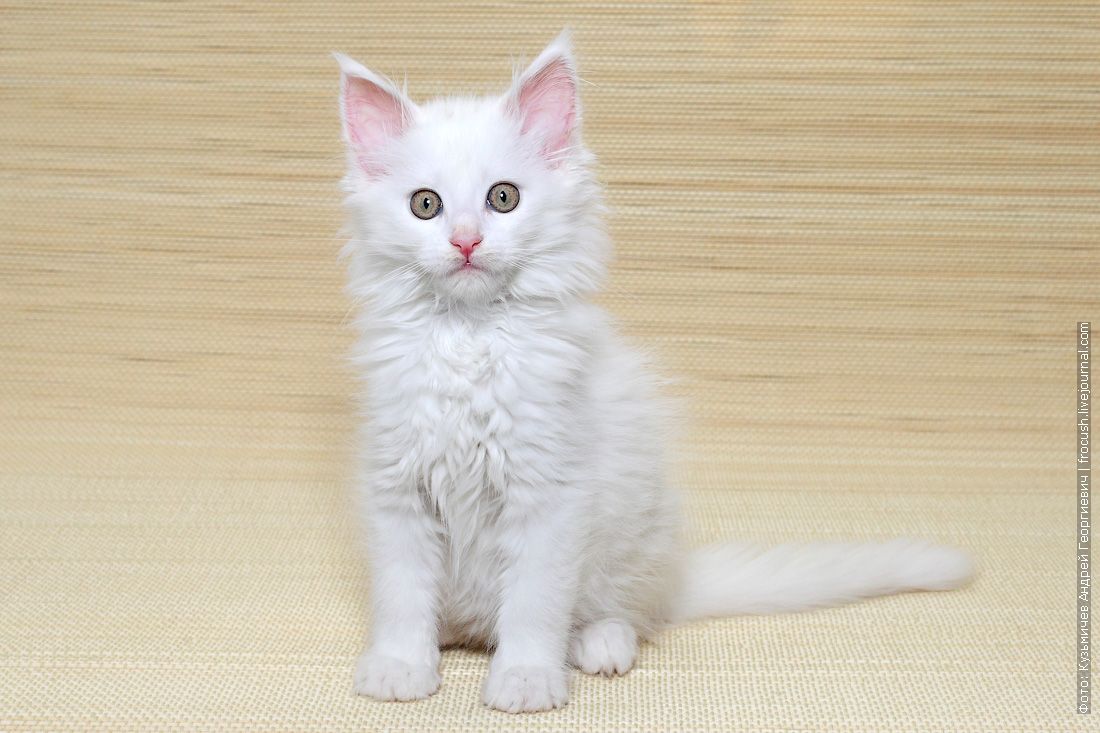 котенок мейн кун белый из питомника в москве
