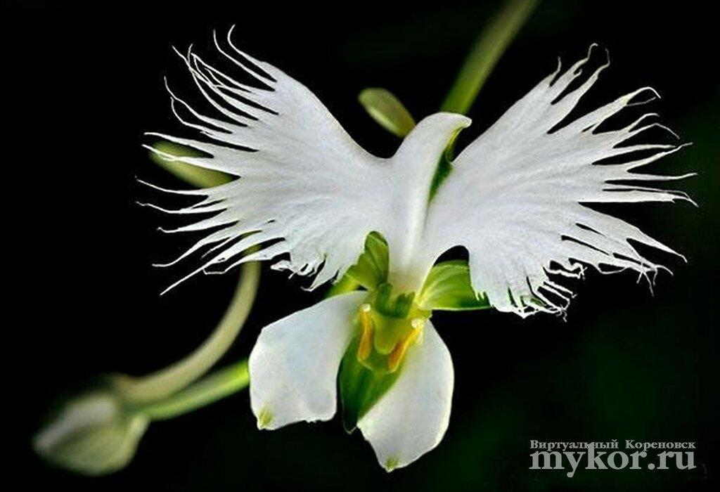 Орхидея белая цапля Habenaria Radiata