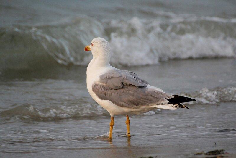 Средиземноморская чайка (Larus michahellis) любуется морем
