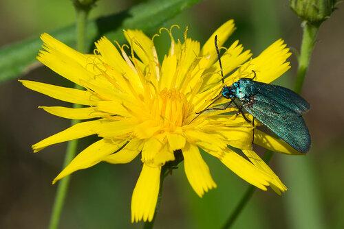 Пестрянка щавелевая, пестрянка зеленая - Adscita statices (Zygaenidae: Procridinae) Автор фото: Владимир Брюхов