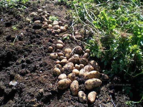 А это соседний рядок посаженных картофельных росточков.