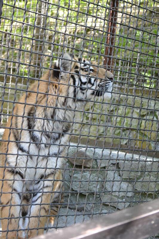тигры, парк львов - Тайган