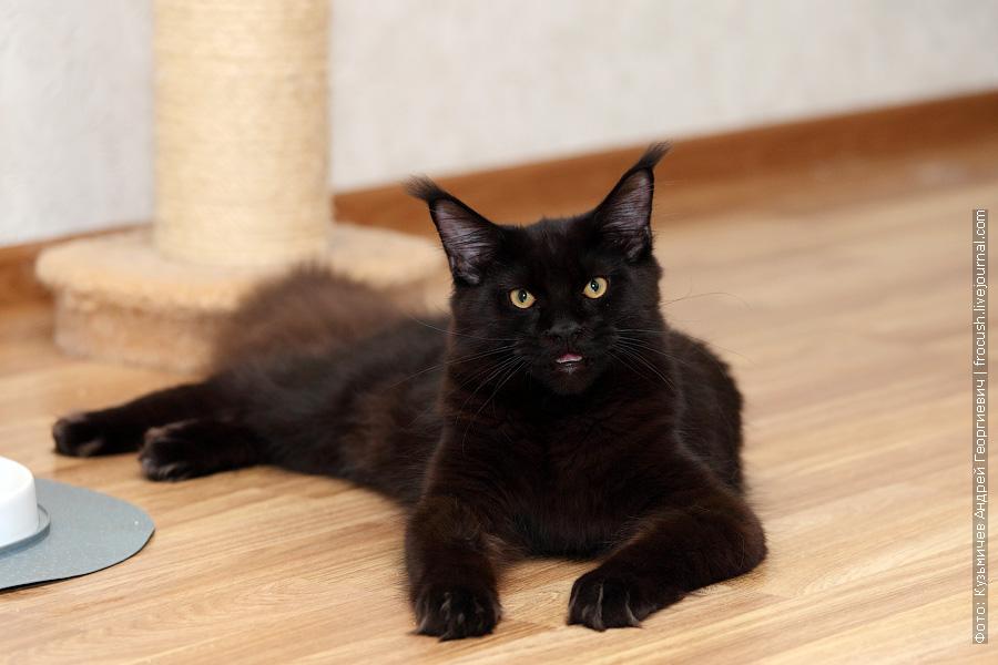 черный кот Мейн-кун