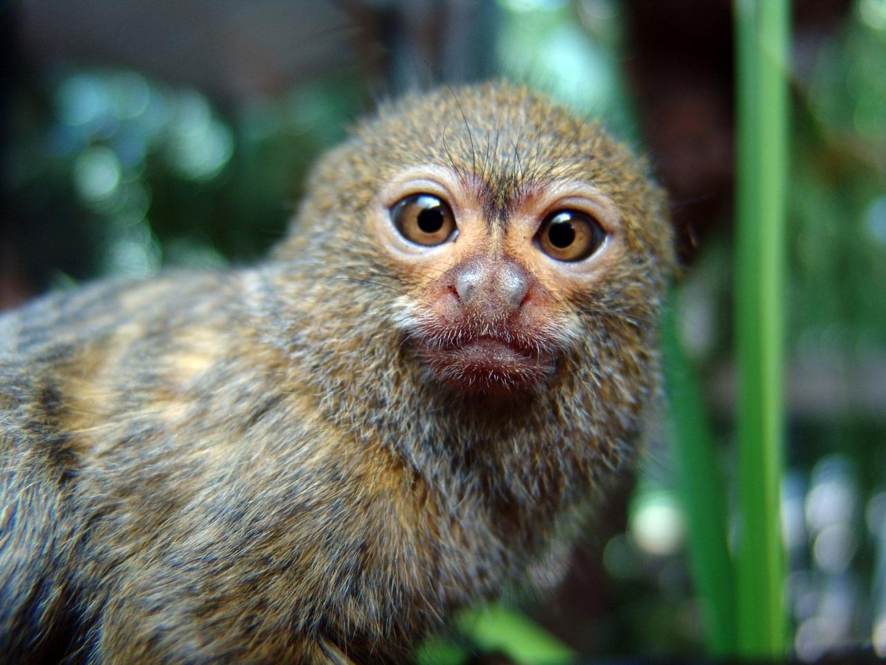 Картинки самой маленькой обезьянки в мире крестики