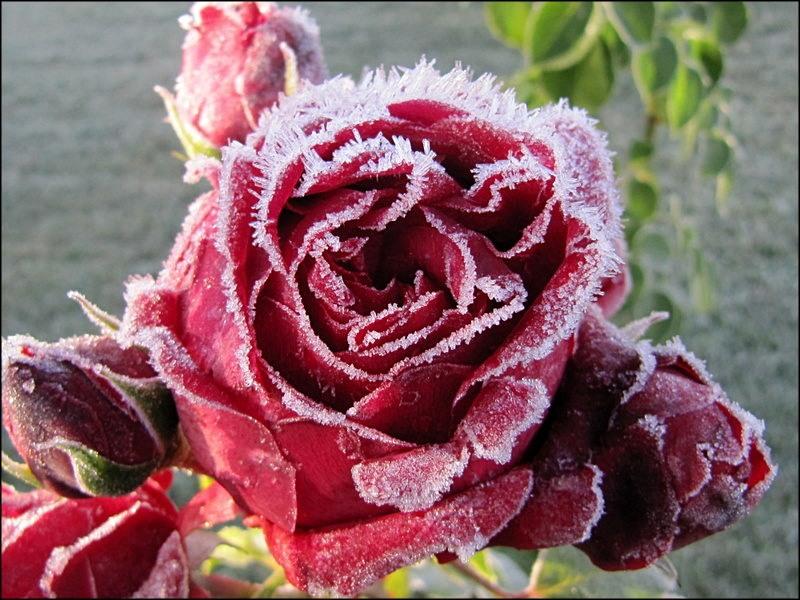 Роза в инее