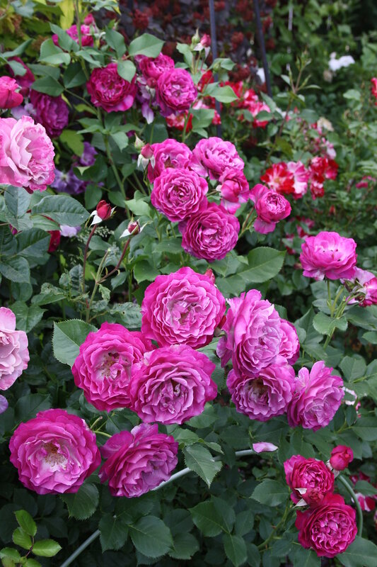 Роза Мюрел Робин, ч-г ( Muriel Robin ) Orard Франция, 2005