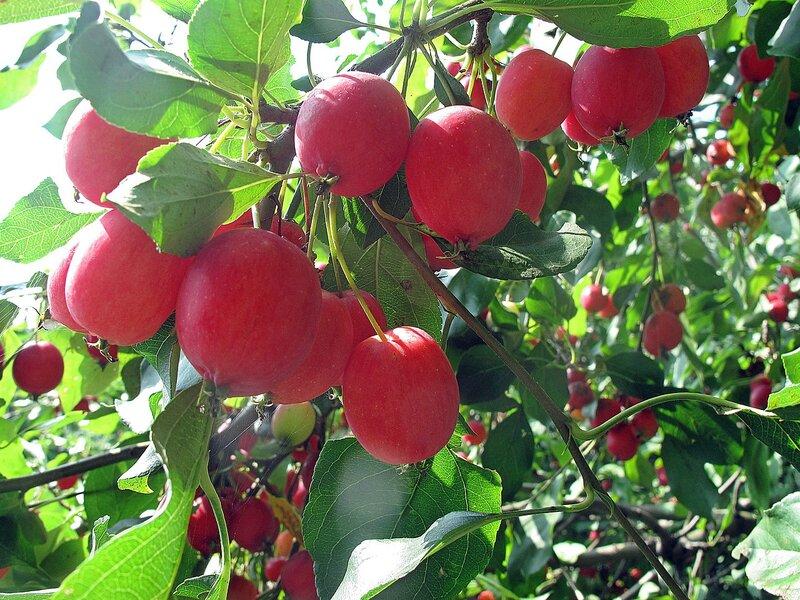 Райские яблочки райского садика