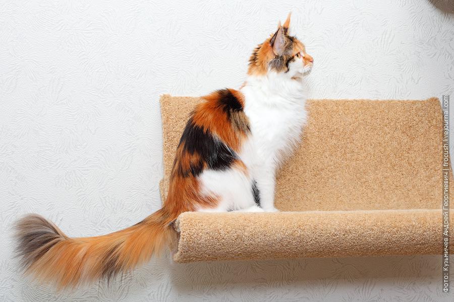 кошка Мейн-кун черепаховый окрас