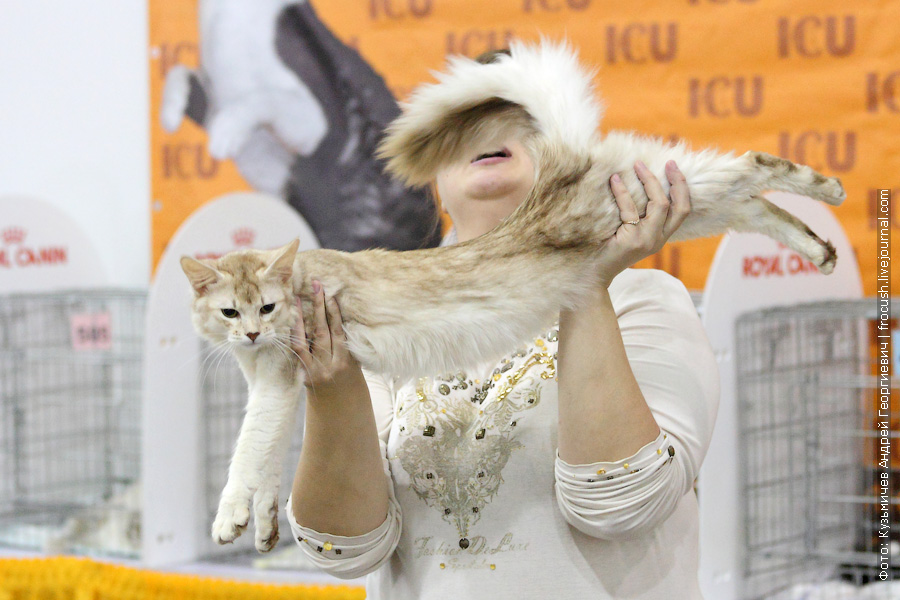 Сомали. Кот. Skeemen Moroz. Silver Sorel