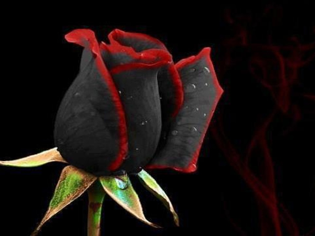 Black Magic Rose Wallpaper