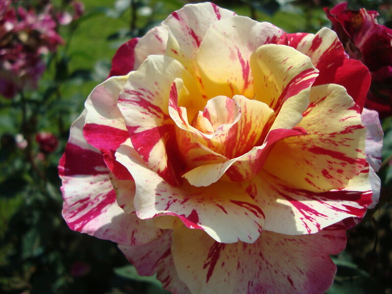 Пленительная роза