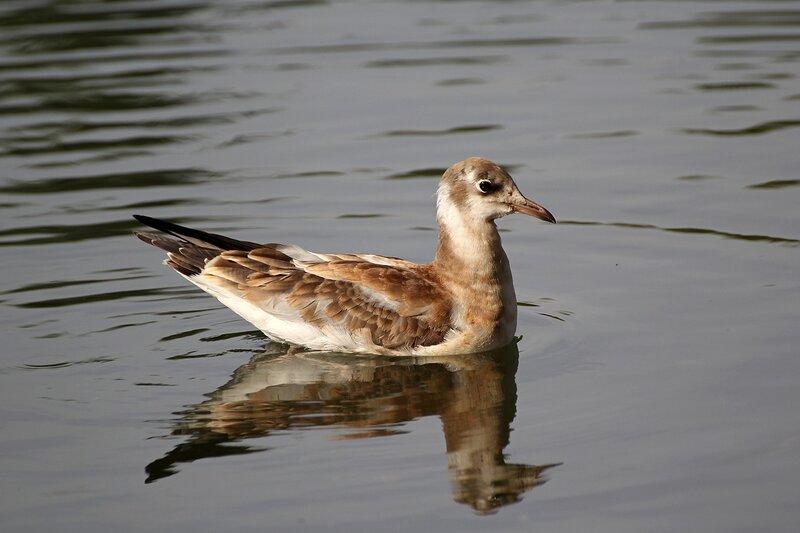 Молодая чайка на воде