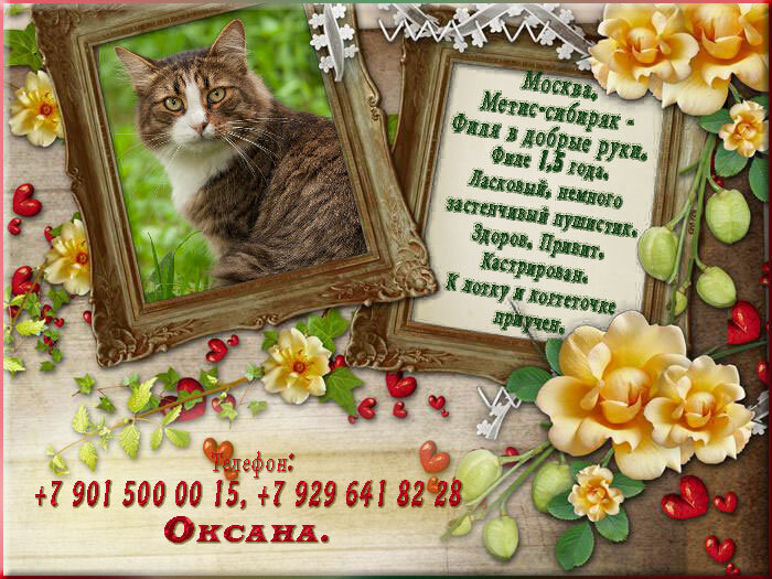 5. Москва. Молодой котик, метис-сибиряк - Филя в добрые руки.